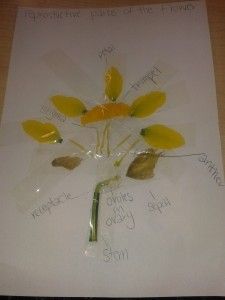 Rosie's Daffodil Dissection